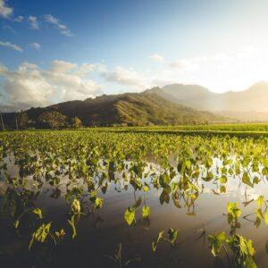 taro patch or loi in Hawaii