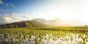 Hawaiian loi or taro patch