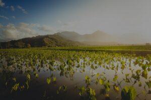 Hawaiian taro patch illustrating scholarship opportunities for growth