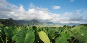 hawaiian taro patch loi large kalo leaves